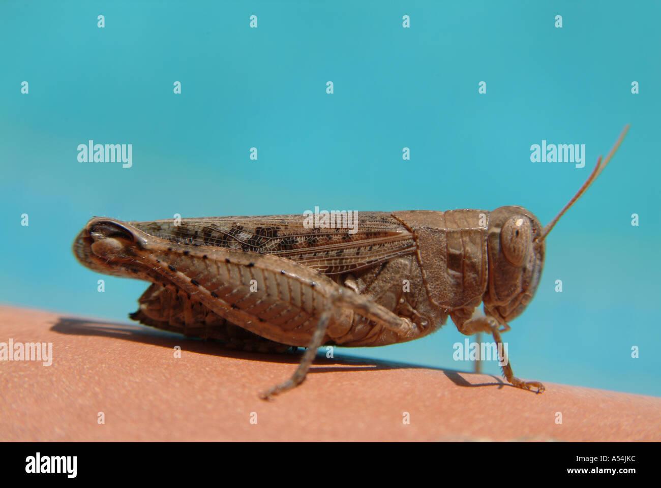 Brown Cricket Grasshopper in Spain 2005 Stock Photo