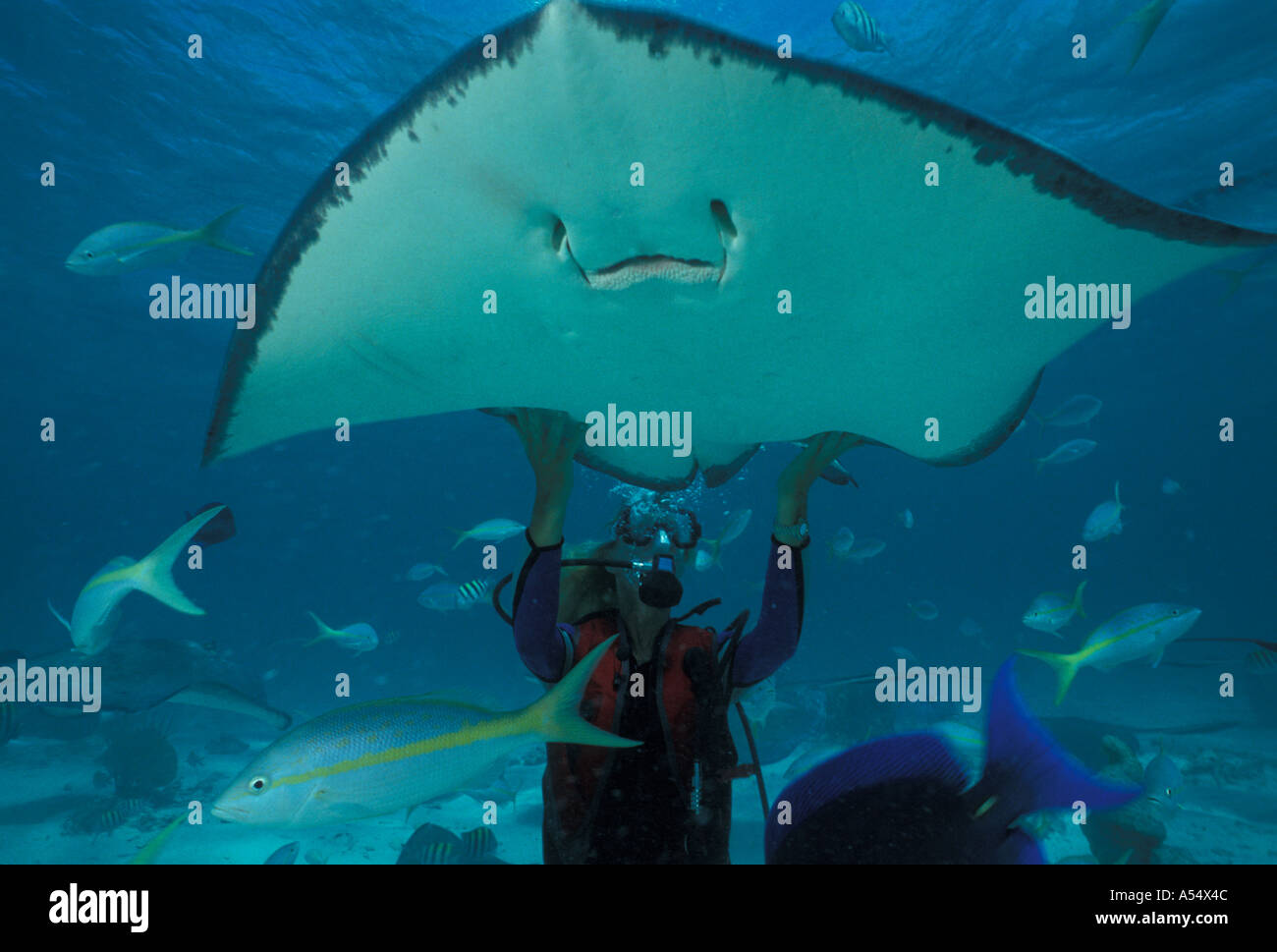 Grand Cayman Island West Indies Caribbean Stingray City scuba diver touching sting ray - Stock Image