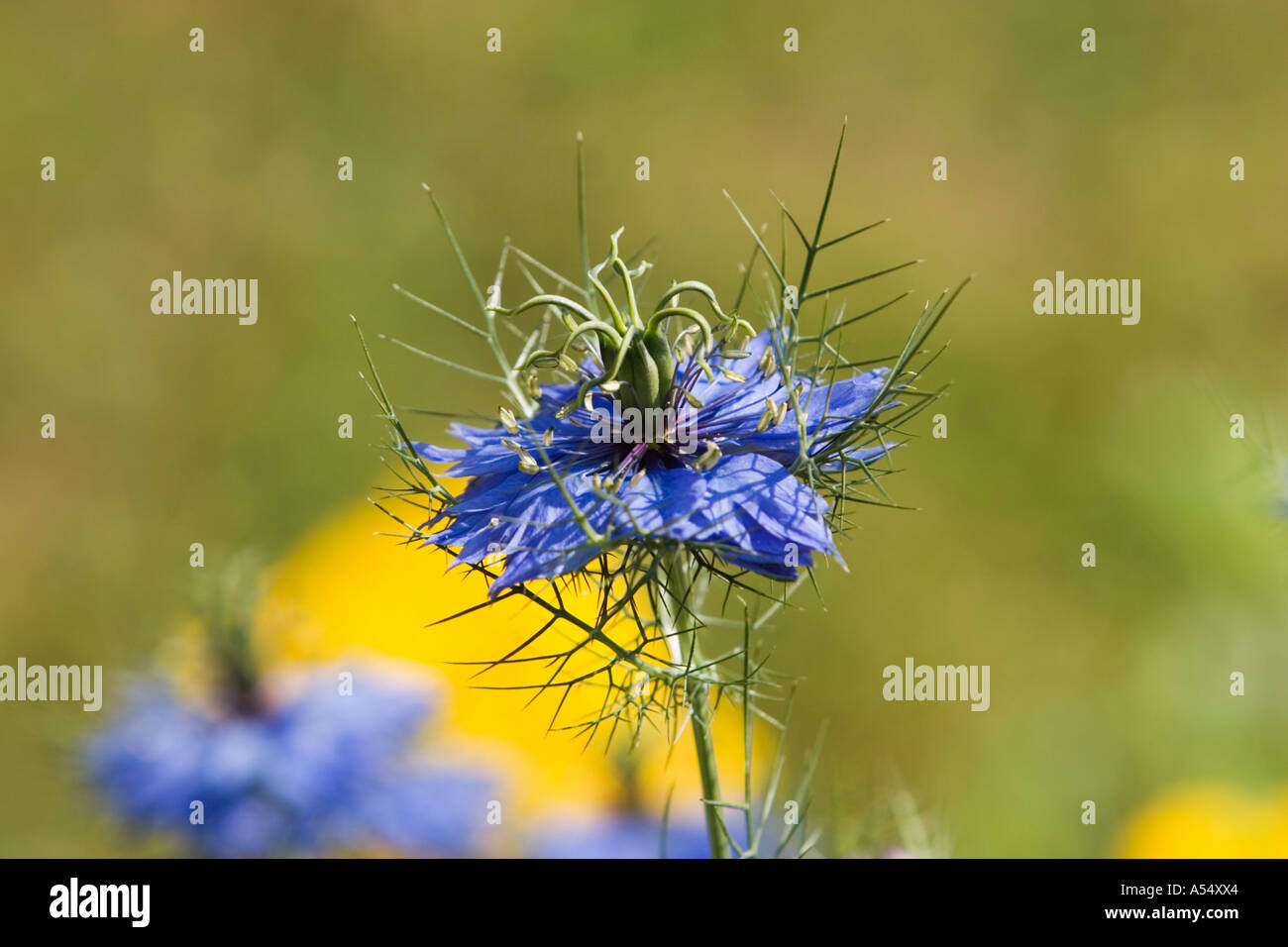 Love-in-a-Mist - Nigella damascena Miss Jeckyll - Ranunculaceae Stock Photo