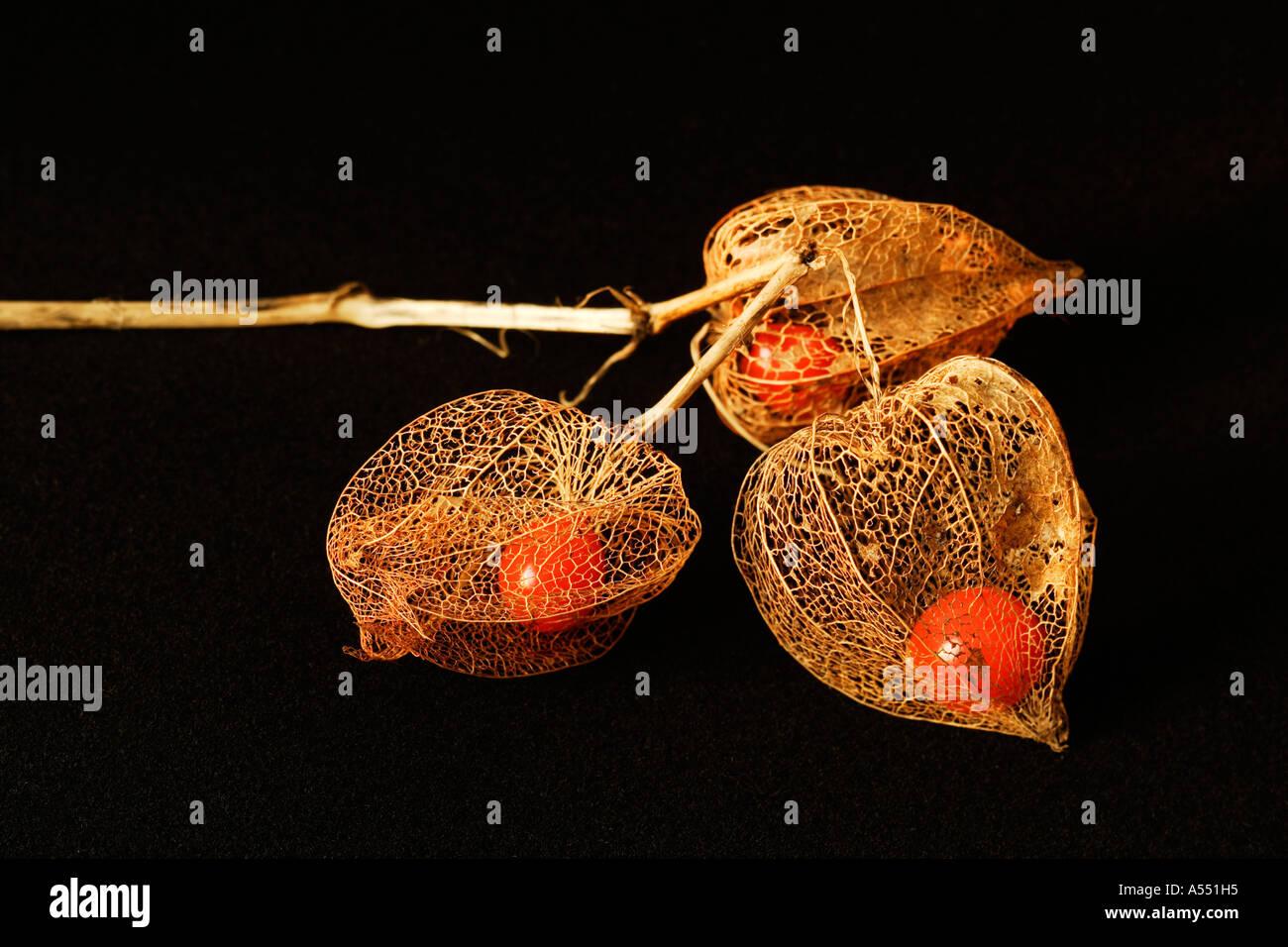 Seed of Physalis alkekengi Austria - Stock Image