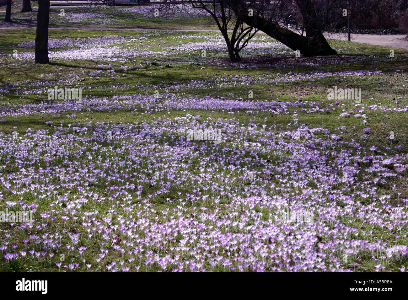 Crocus field flowering in spring Lenbachplatz Munich Bavaria Germany - Stock Image