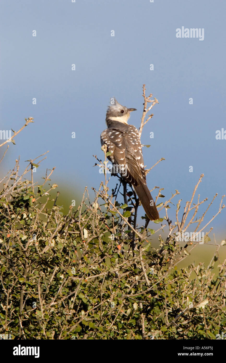 Great spotted cuckoo lookout - Stock Image