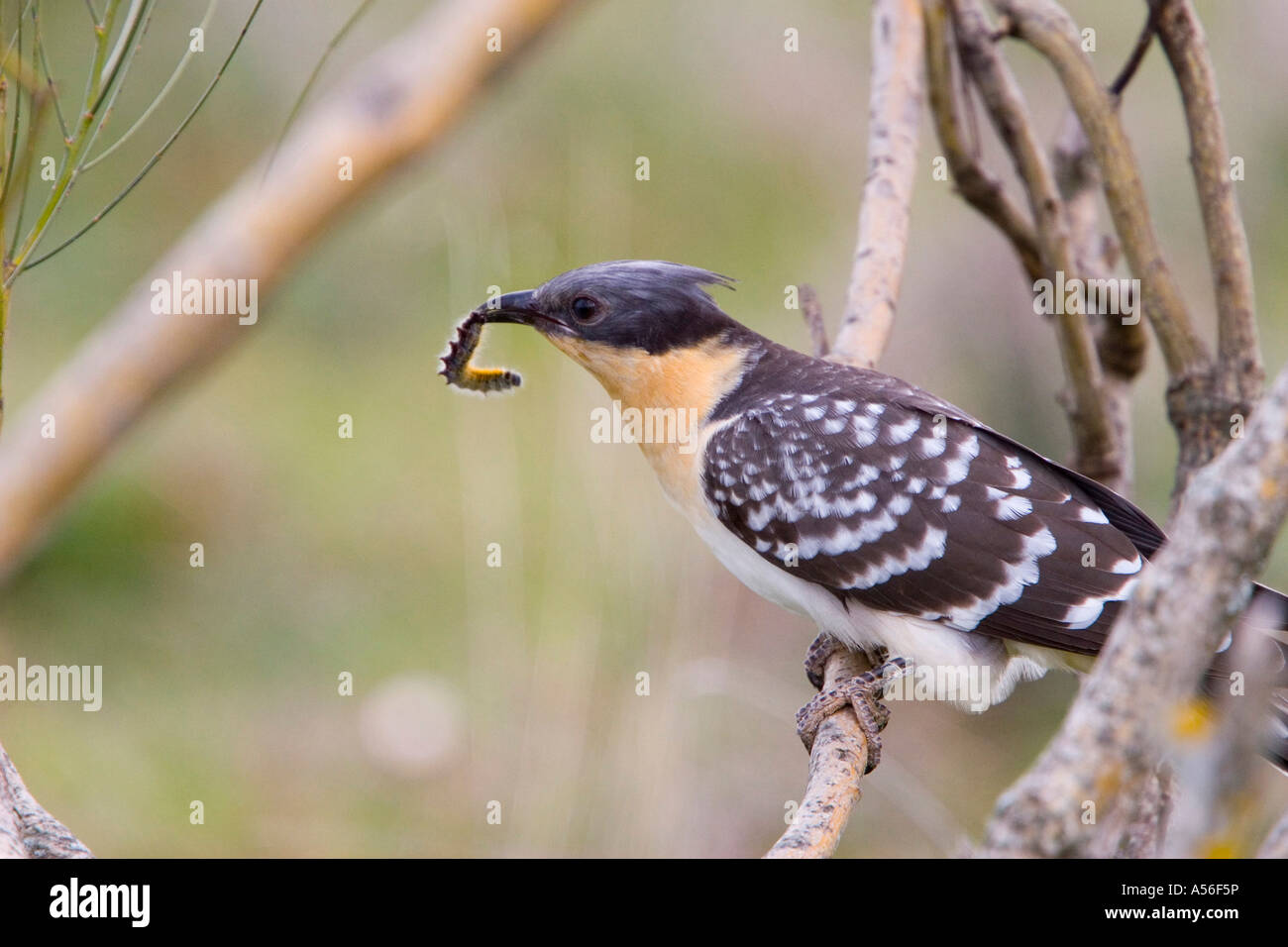 Great Spotted Cuckoo Clamator glandarius eating a Caterpillar - Stock Image