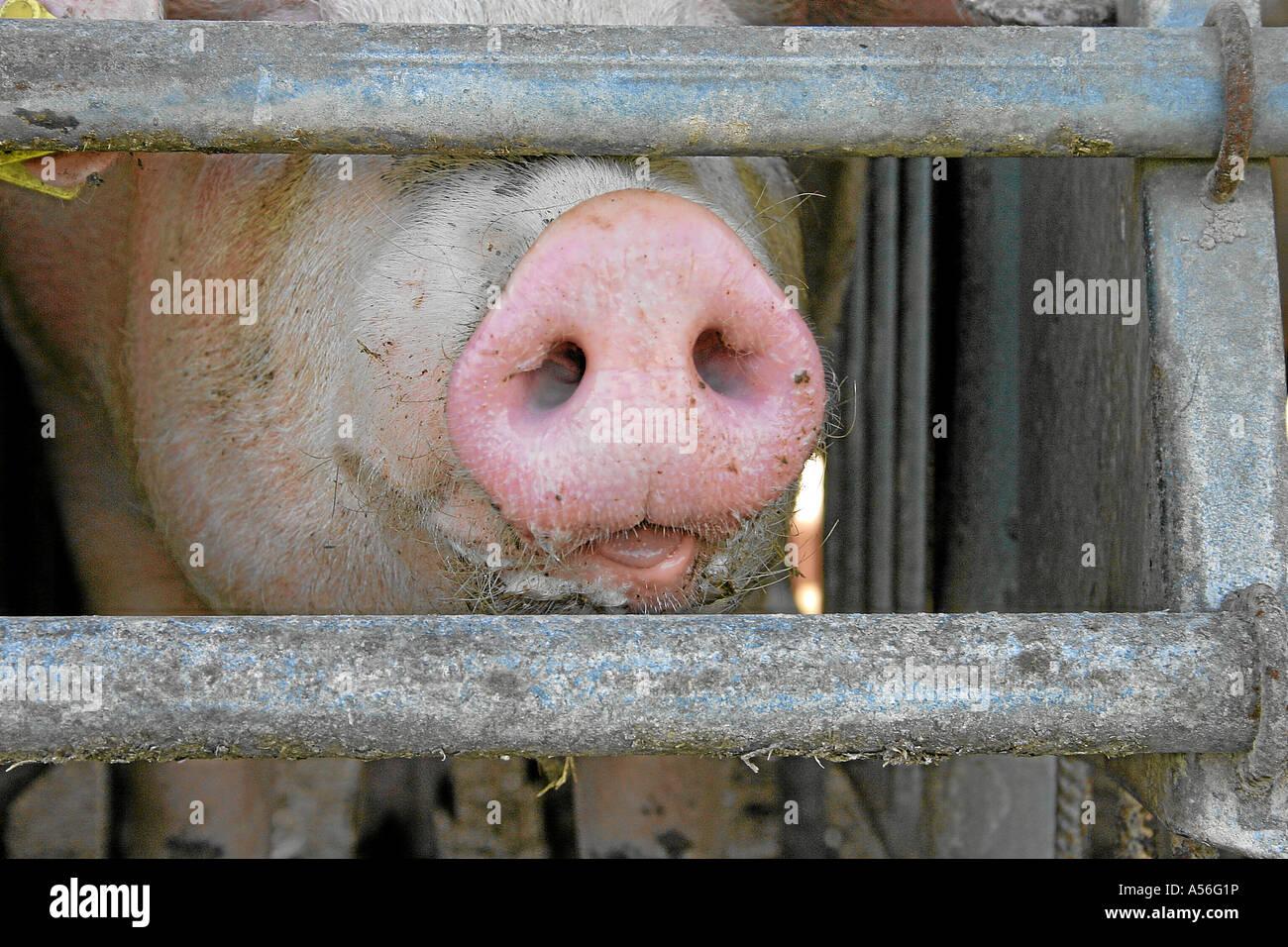 Mastschwein im Stall Stock Photo