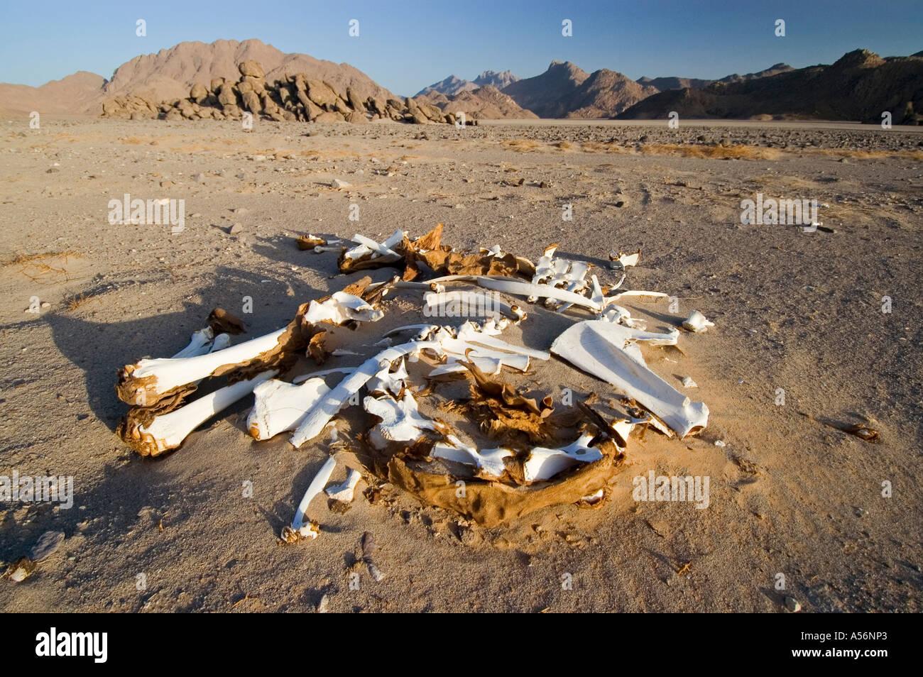 Dead camel in the desert - Stock Image