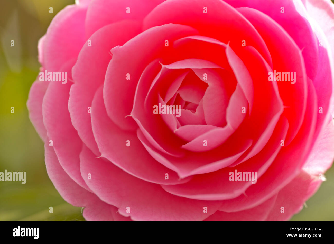 Camelia x williamsii E G Waterhouse in bloom - Stock Image