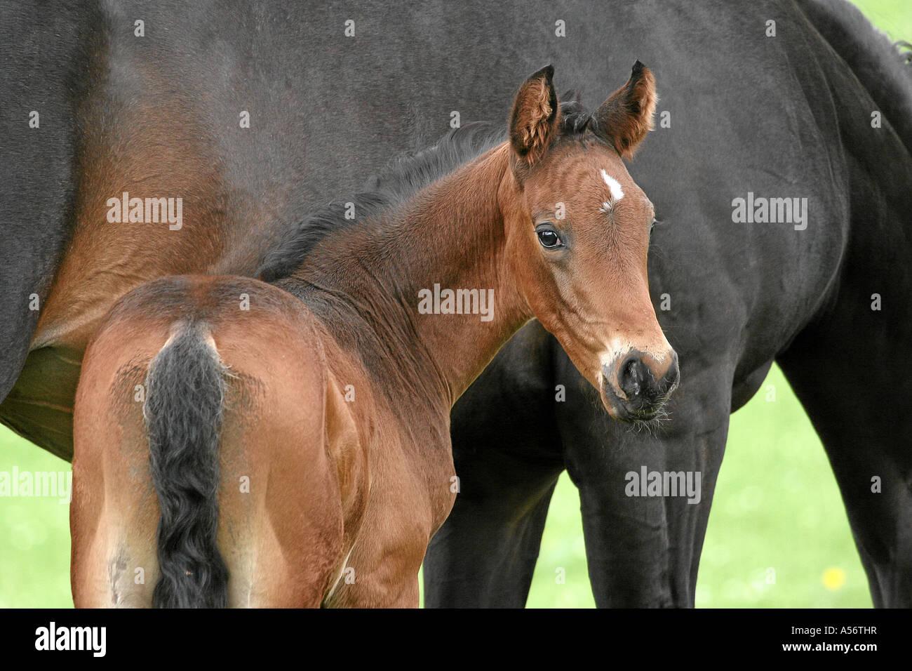Deutsches Warmblut Fohlen braun German warm blooded Foal brown 2 months old - Stock Image