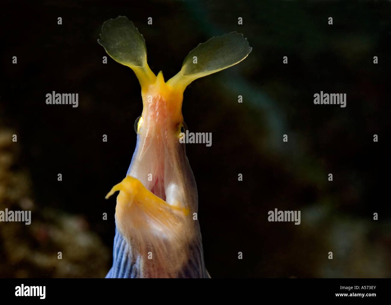 Geistermuraene Ghost Moray Gymnothorax Phasmatodes murene muraene moray morena western indian ocean actinopterygii Stock Photo
