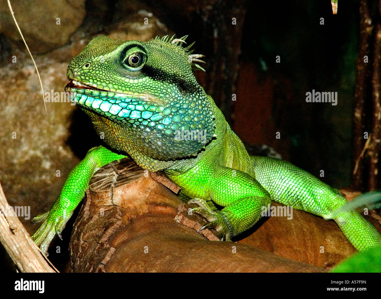 scrub habitat lizard reptile Green Iguana - Stock Image
