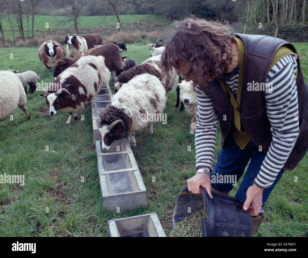 Hugh Fearnley Whittingstall feeding sheep on farm in Somerset Keywords Location personality people - Stock Image