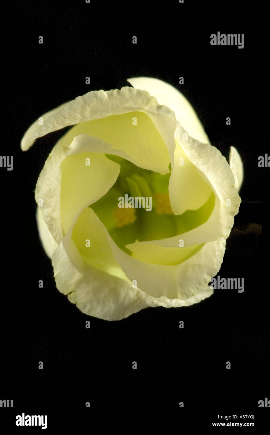 Eustoma Grandiflorum Lisianthus Russllianus Flower Close Up - Stock Image