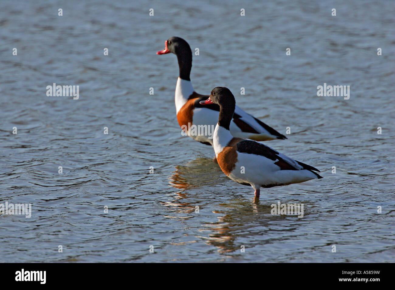 Couple of common shelducks standing in the water (Tadorna tadorna) Stock Photo