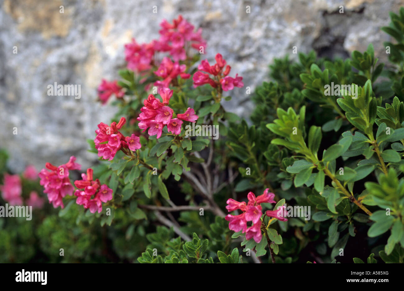 Alpine roses Rhododendron ferrugineum - Stock Image