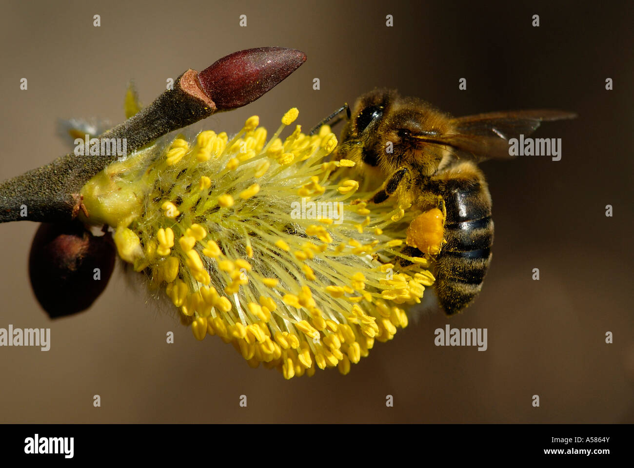 Western Honey bee (Apis mellifera collecting pollen on Goat Willow Europe - Stock Image