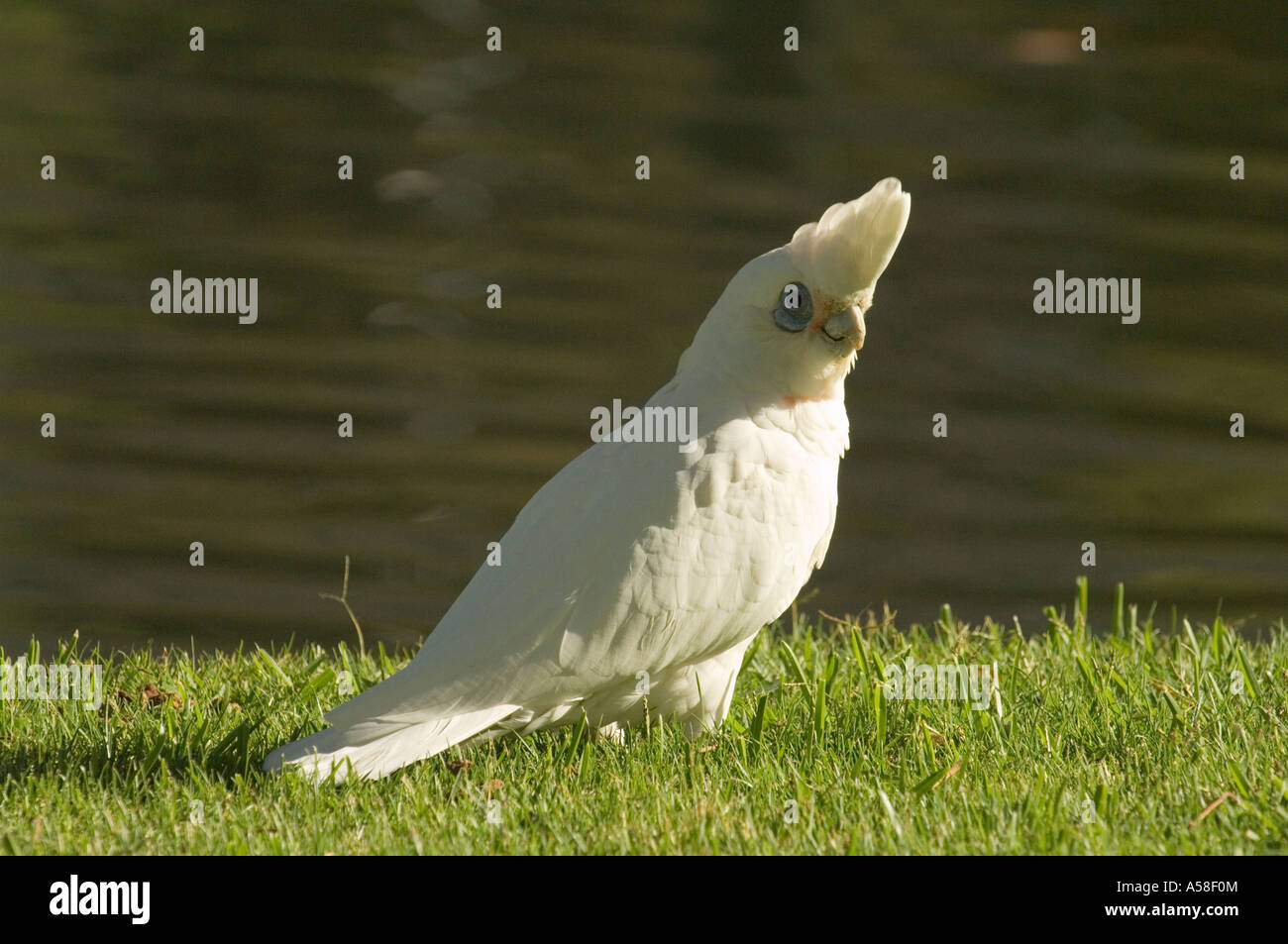 Little corella (Cacatooa sanguinea) adult, wild, Queens Park, Perth, Western Australia Stock Photo