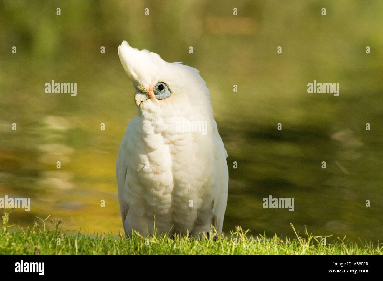 Little corella (Cacatooa sanguinea) adult, wild, Queens Park, Perth Western Australia - Stock Image