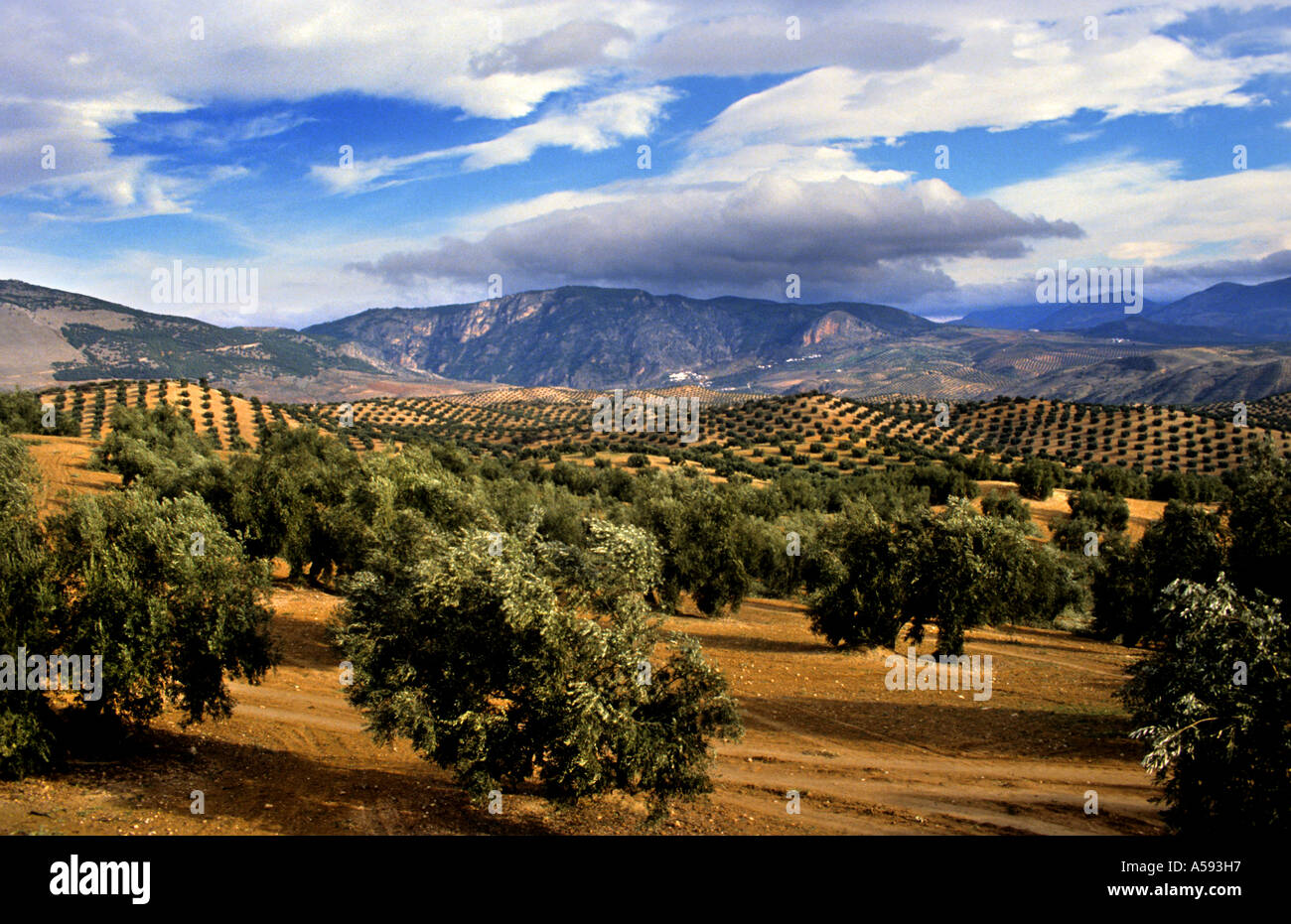 Olive trees in Andalucia Spain Spanish Landscape mountains sun - Stock Image