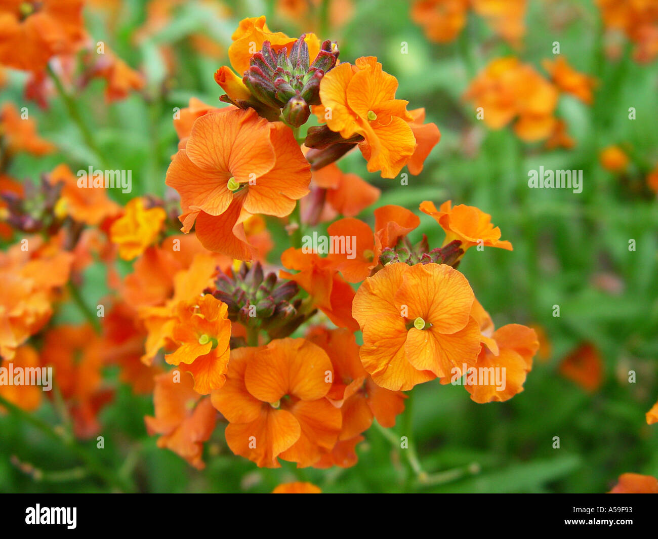 Erysimum Apricot Twist - Stock Image