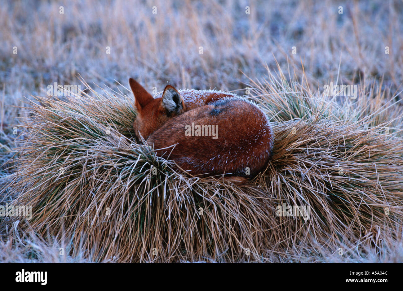 Ethiopian Wolf Canis simensis Sleeping covered by early morning frost endangered Bale Mountains National Park Ethiopia - Stock Image