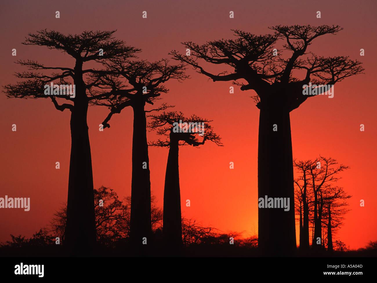 Baobab tree Adansonia grandidieri At sunset near Morondava Madagascar - Stock Image