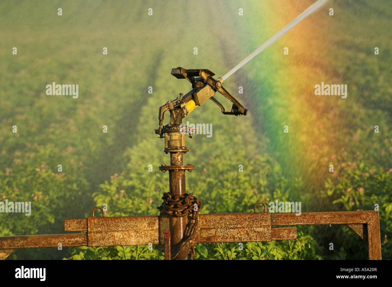 Irrigation Water being sprayed onto potato crop and rainbow forming in spray - Stock Image