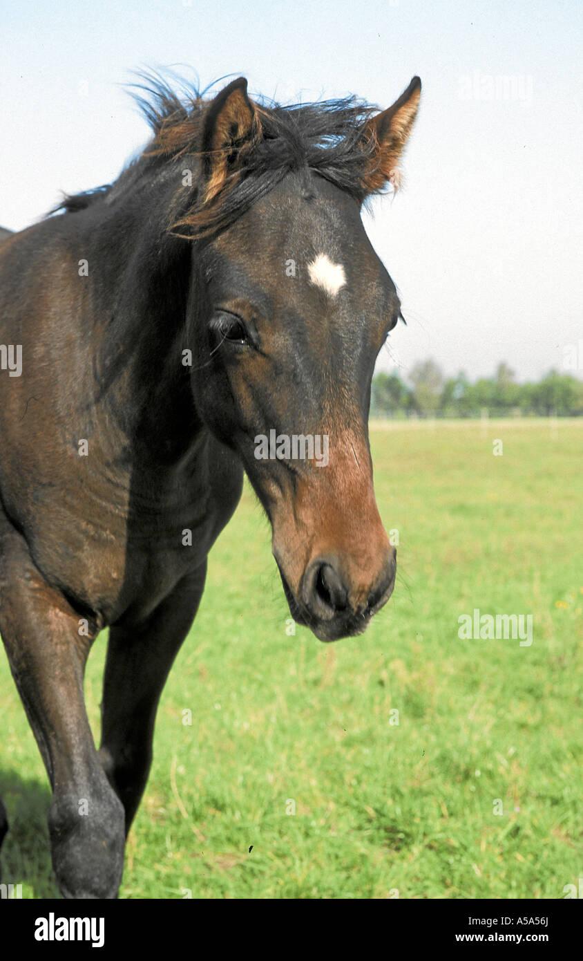 Aztekenpferd Caballo Azteka Azteca Horse - Stock Image