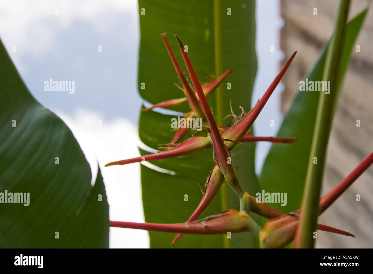 Heliconia flower seen from the underside - Stock Image