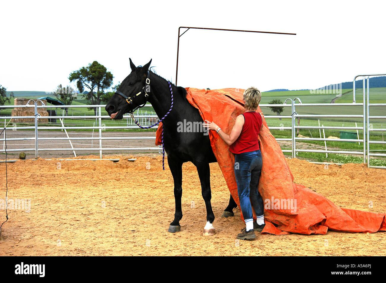 German warmblooded Horse Deutsches Warmblut Stock Photo