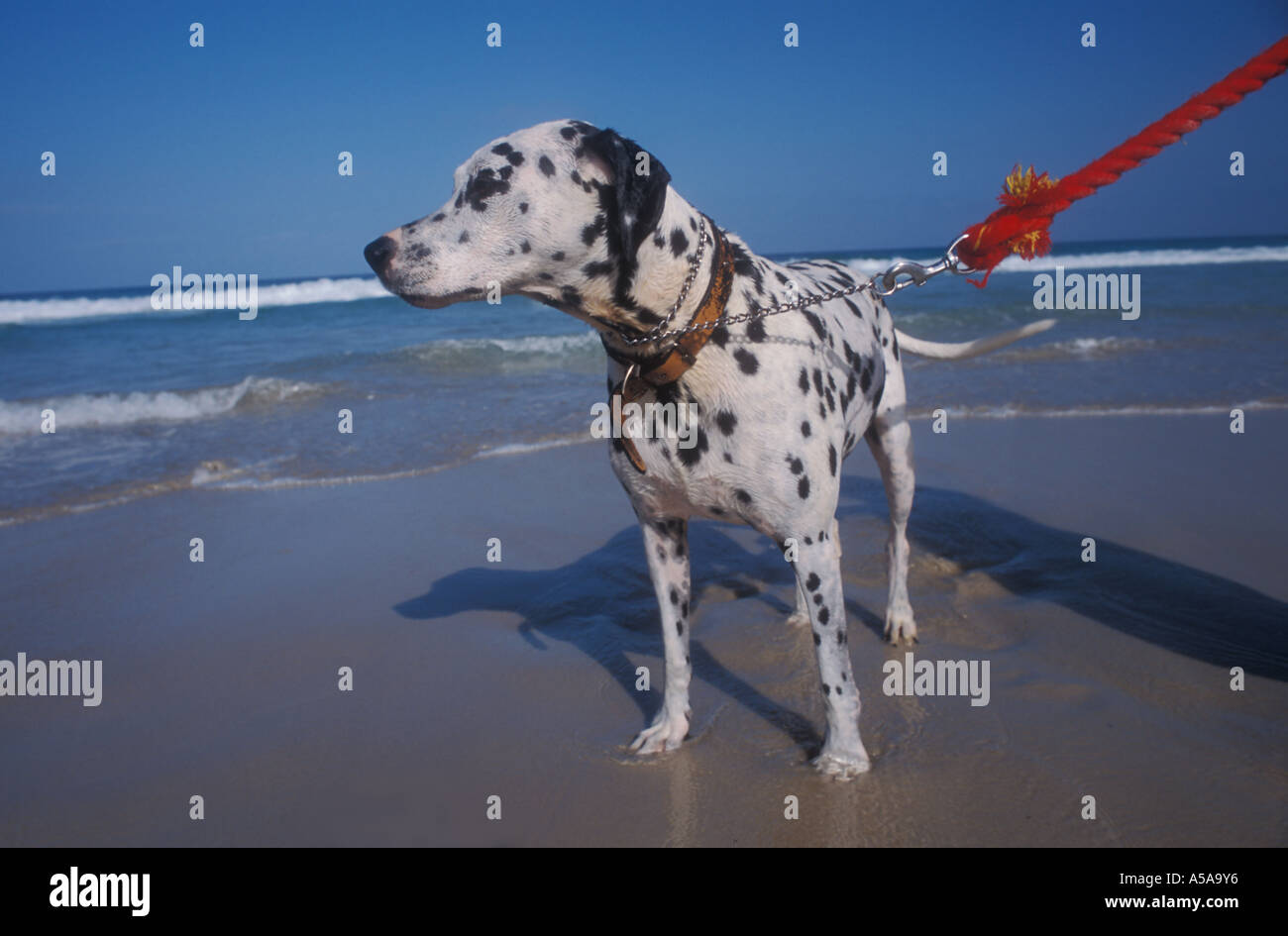 Dalmation on a red lead , New Brighton Beach , NSW , Australia - Stock Image