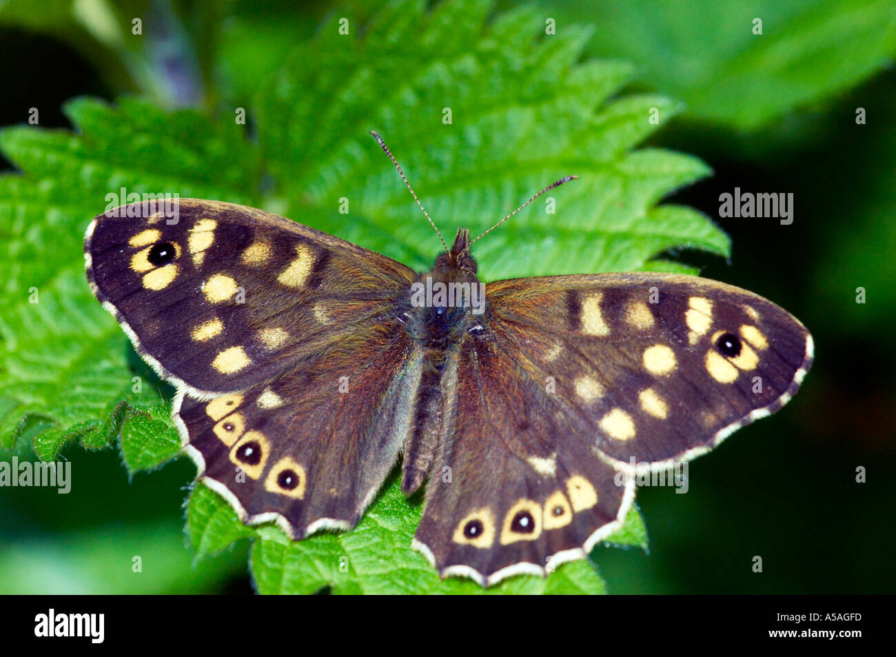 Speckled Wood butterfly Pararge aegeria on a stinging nettle leaf in Epping Forest Stock Photo
