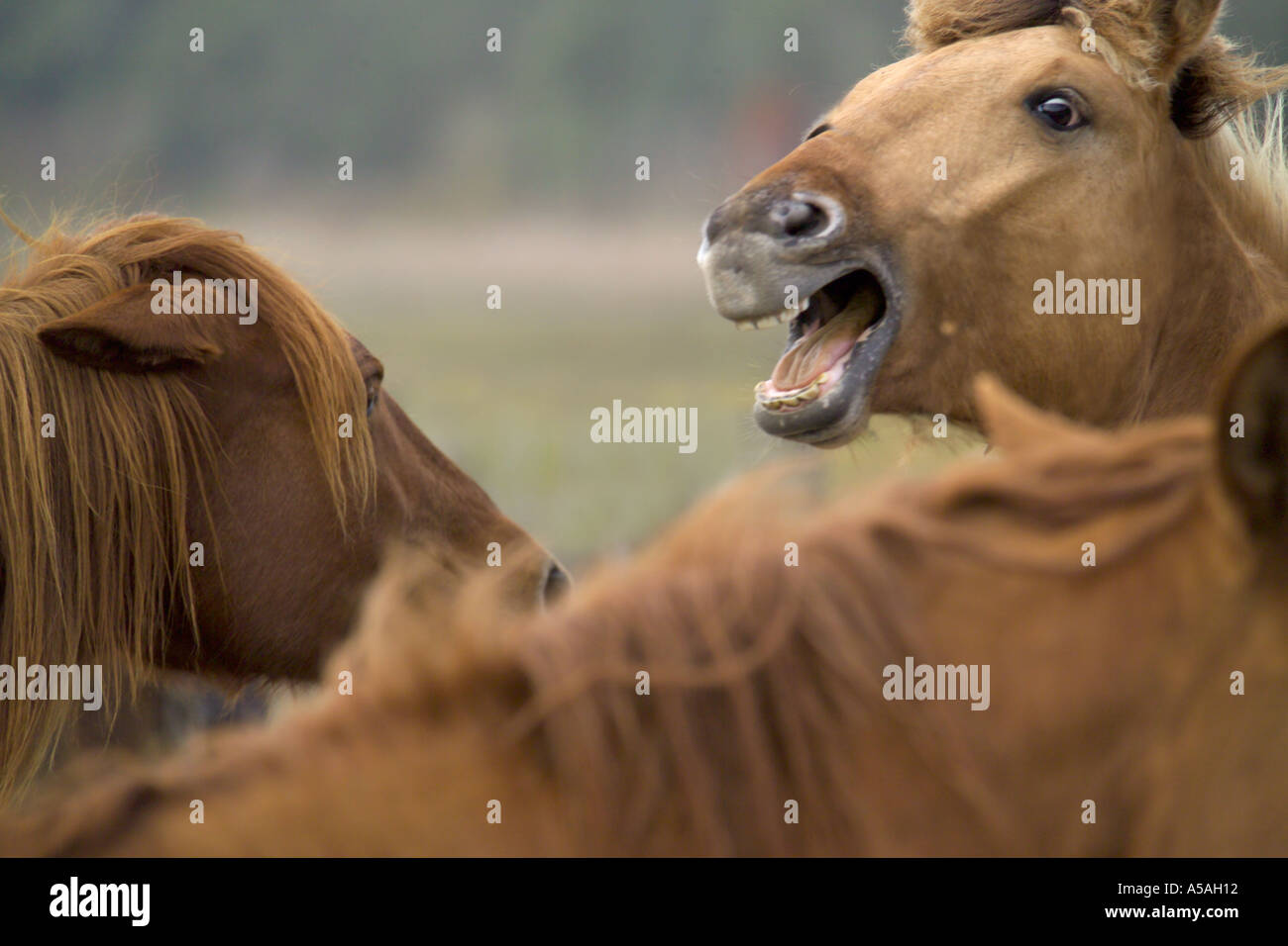 Spanish Mustang mares - Stock Image