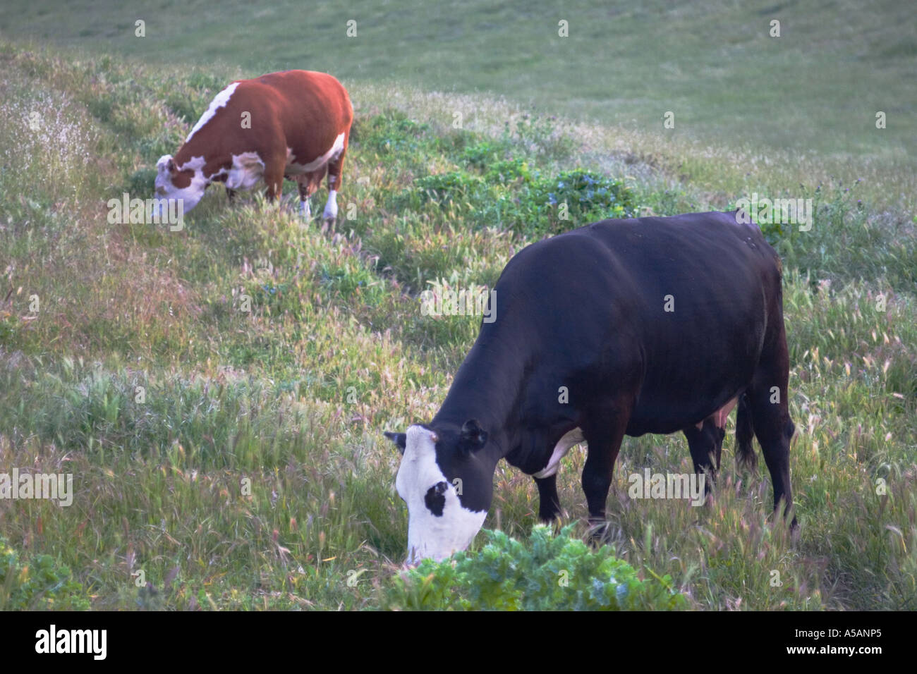 Cows grazing in the Altamont Pass area Alameda County CaliforniaStock Photo