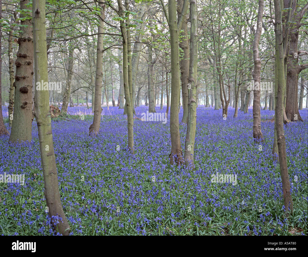 early morning in blubell wood in the Chilterns near marlow and henley on thames - Stock Image