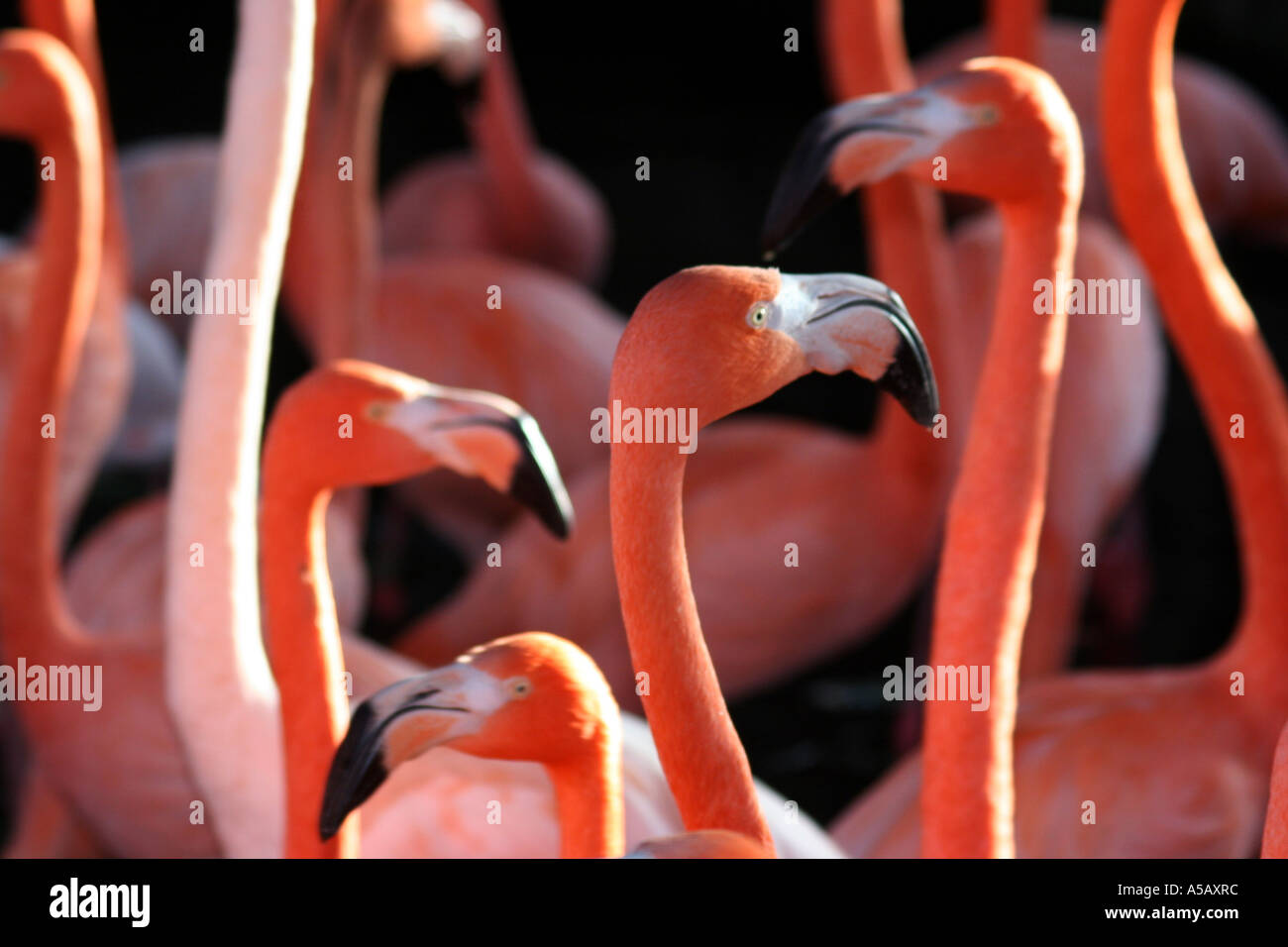 Group of pink flamingos, Slimbridge, Gloucester, UK Stock Photo