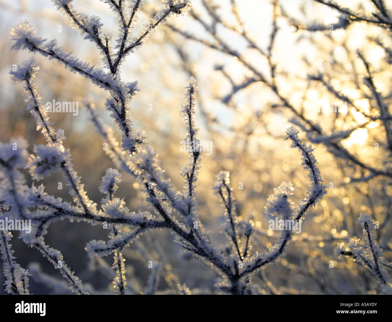 Ice Crystals on tree branches , Lake Myvatn, Iceland - Stock Image