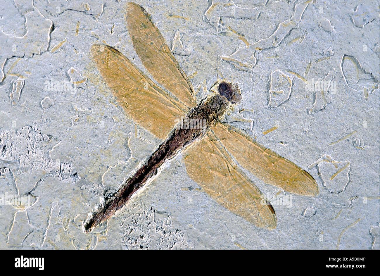 Dragonfly Fossil Wightonia araripiana Lower Cretaceous Brazil - Stock Image