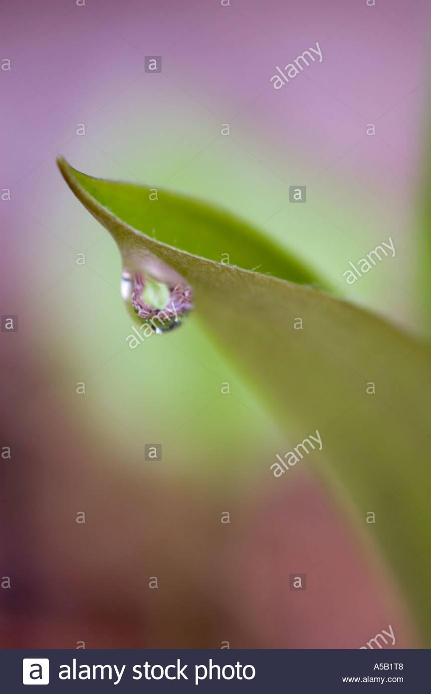 Blue bead lily (Clintonia borealis) Raindrop on leaf in spring. Killarney Provincial Park Ontario Stock Photo