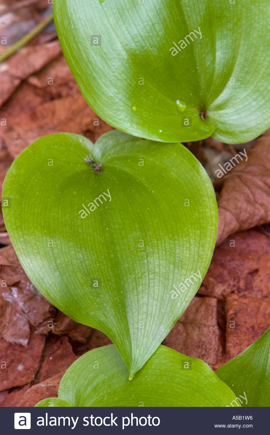 Canada mayflower (Maianthemum canadense) Close-up emerging leaves in spring. Killarney Provincial Park Ontario - Stock Image