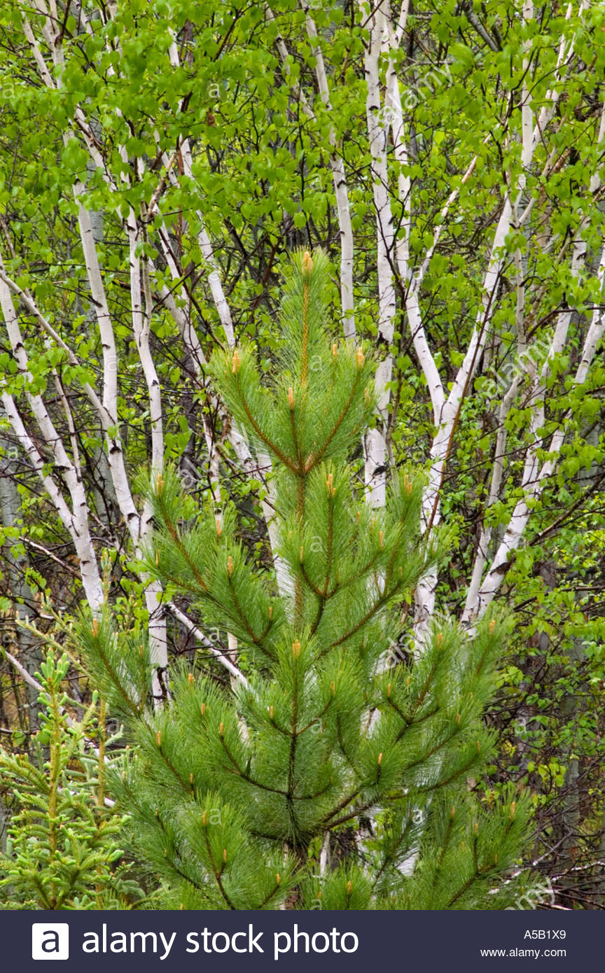 White birch (Betula papyrifera) Spring foliage with young red pine Pinus resinosa Ontario - Stock Image