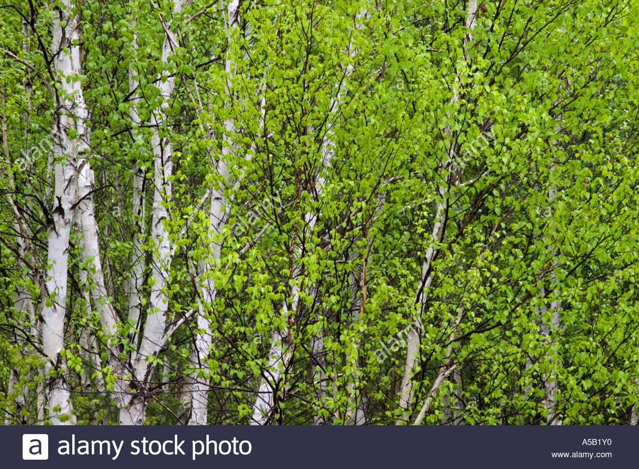 White birch (Betula papyrifera) Spring foliage, Ontario - Stock Image