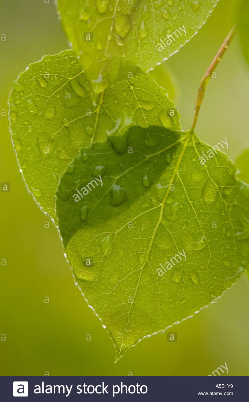 Trembling aspen (Populus tremuloides) Raindrops on new leaves in spring, Ontario - Stock Image