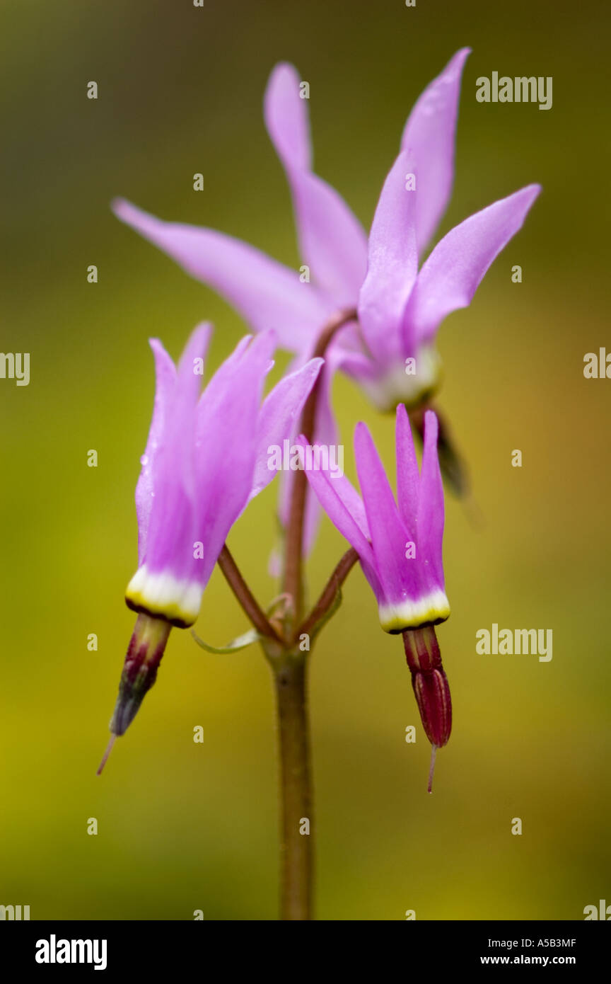 Shooting star (Dodecatheon meadia) in Garry Oak woodland. Sooke BC - Stock Image
