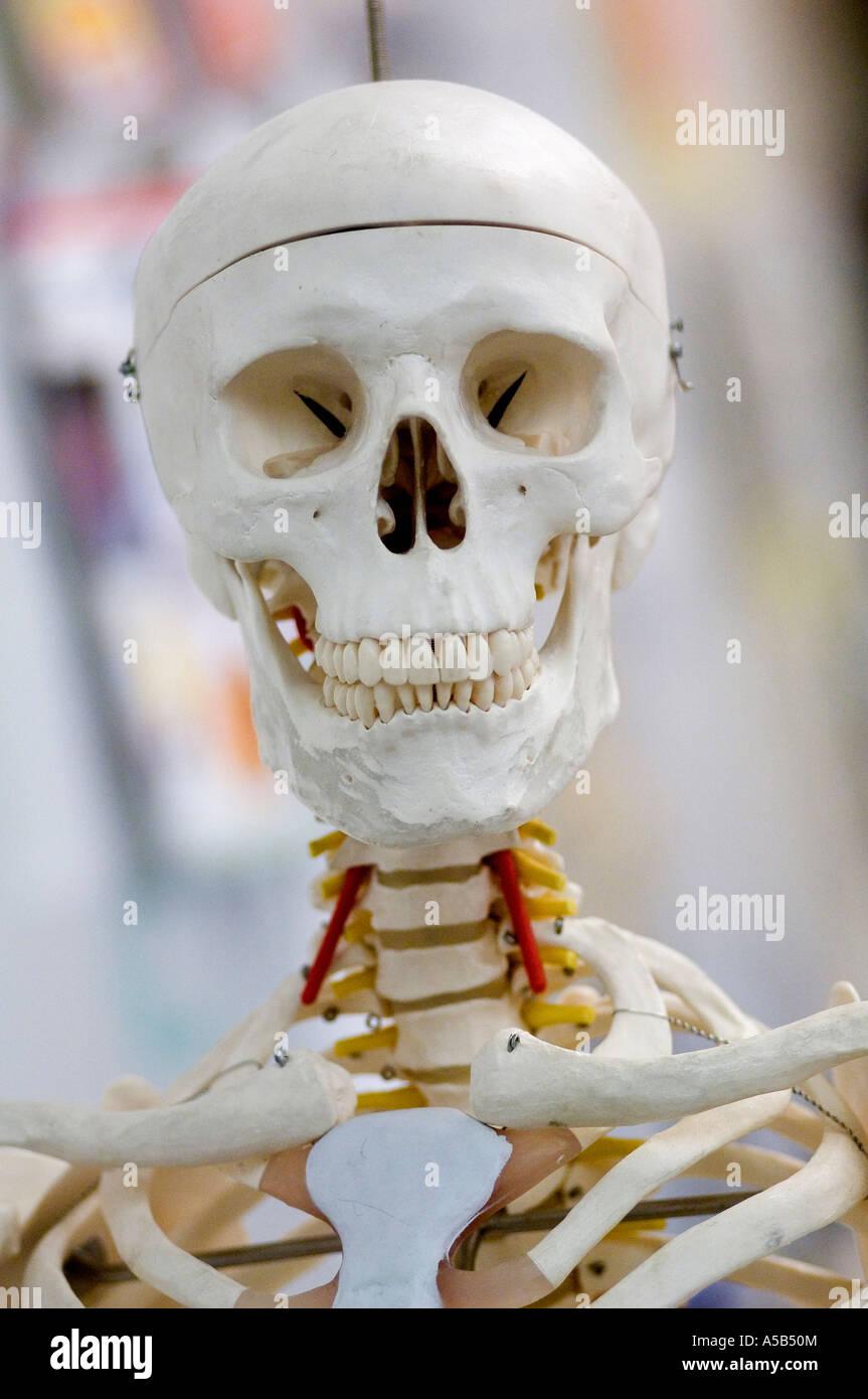 Happy skeleton in classroom. - Stock Image