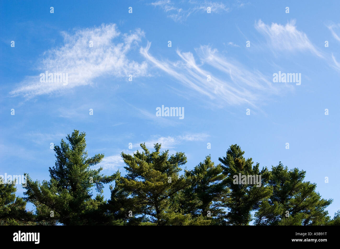 Wispy clouds above evergreen trees. - Stock Image