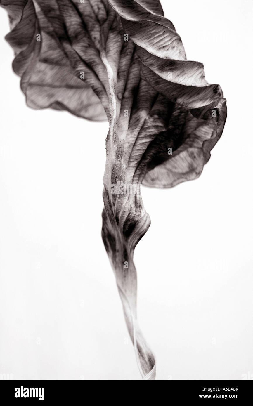 B&W dried twisted hosta leaf. - Stock Image