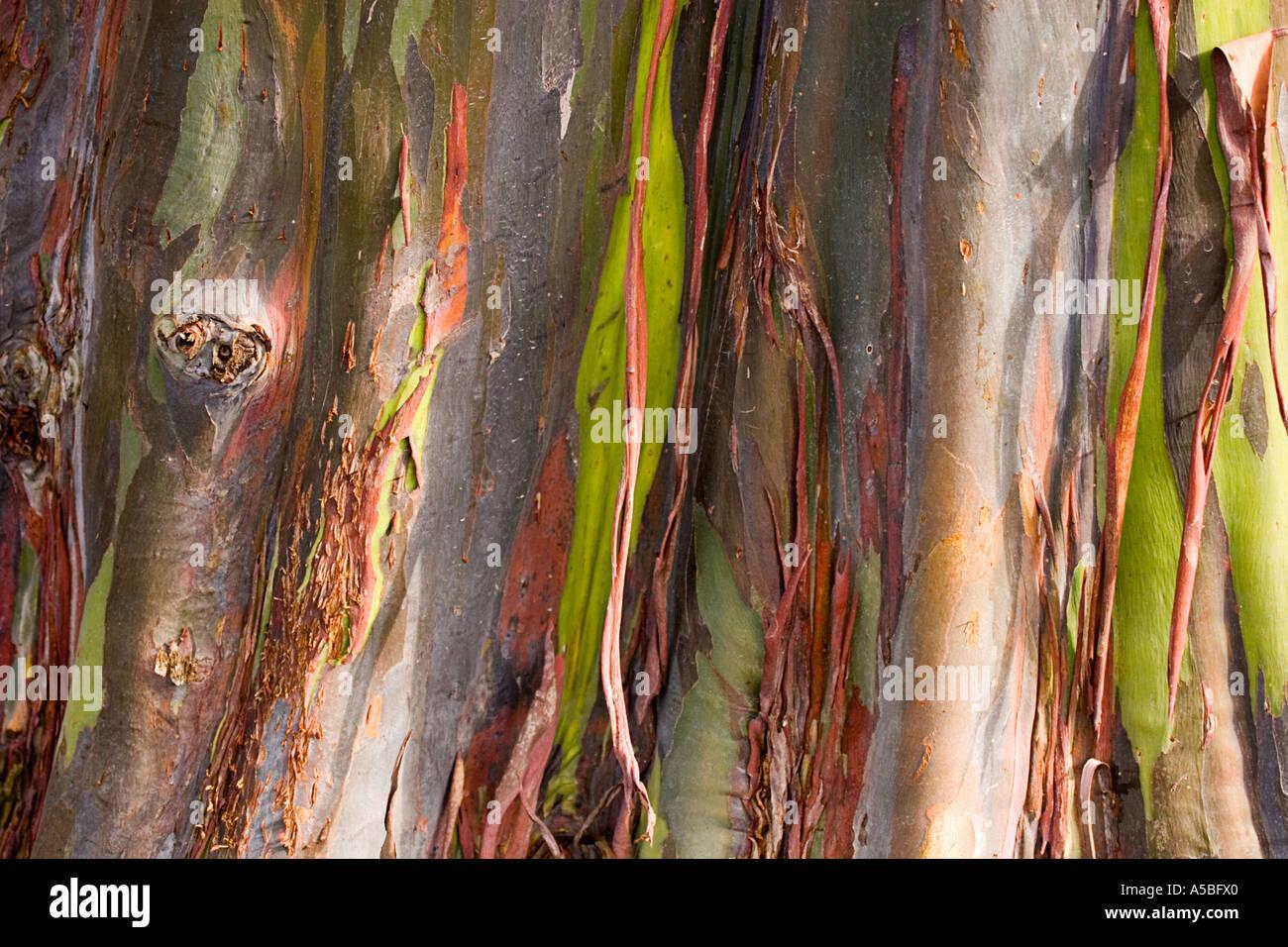 Bark of eucalyptus deglupta rainbow eucalyptus - Stock Image
