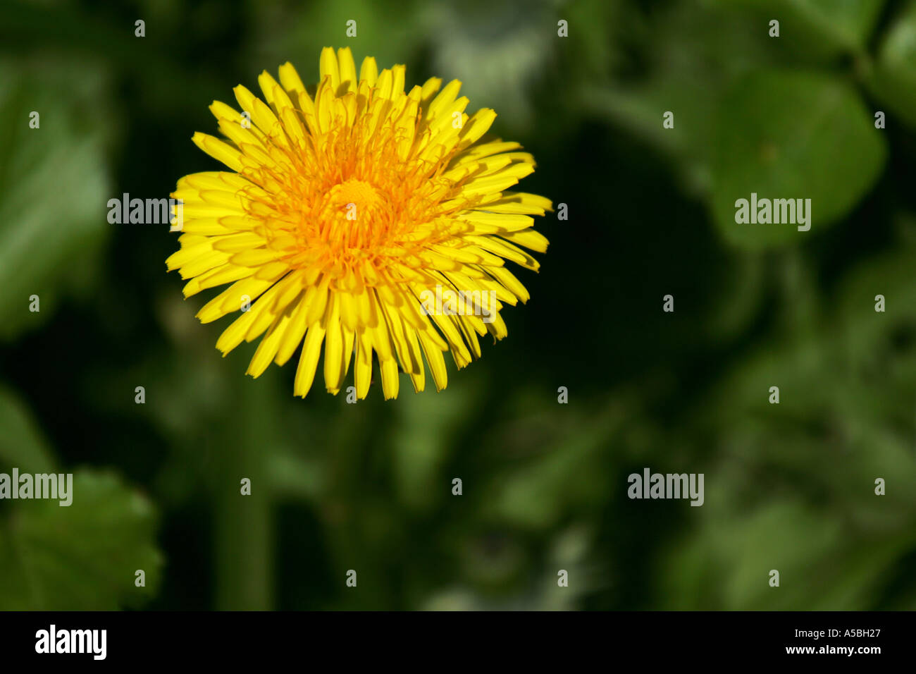 Bright Yellow Dandelion Weed Flower In Full Bloom During Spring