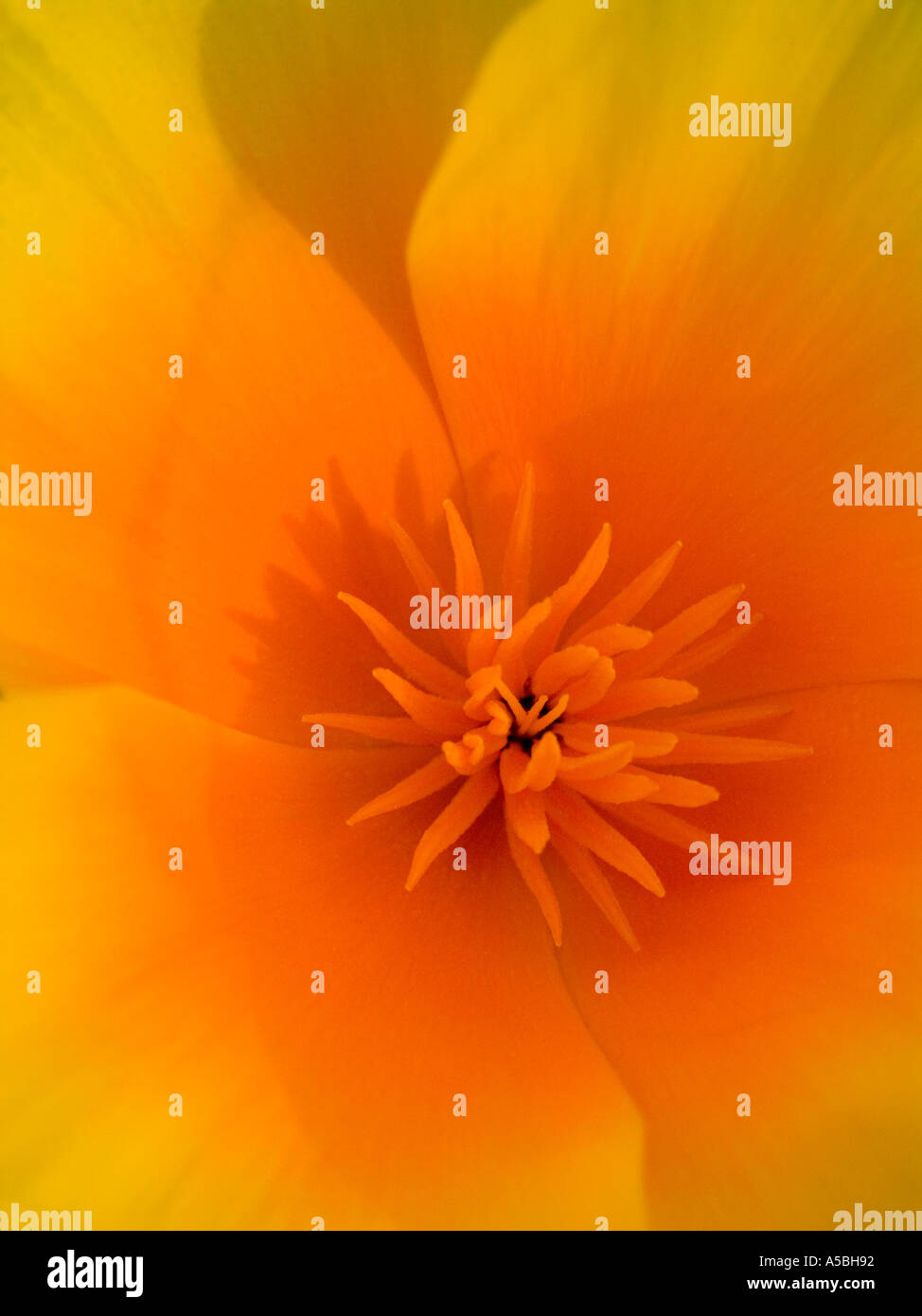 Close up of California poppy flower Eschscholzia californica in northern California - Stock Image