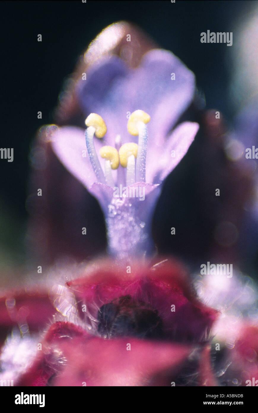 ajuga reptans lamiaceae buggle rampante charmaie sous bois europe asie asia Stock Photo