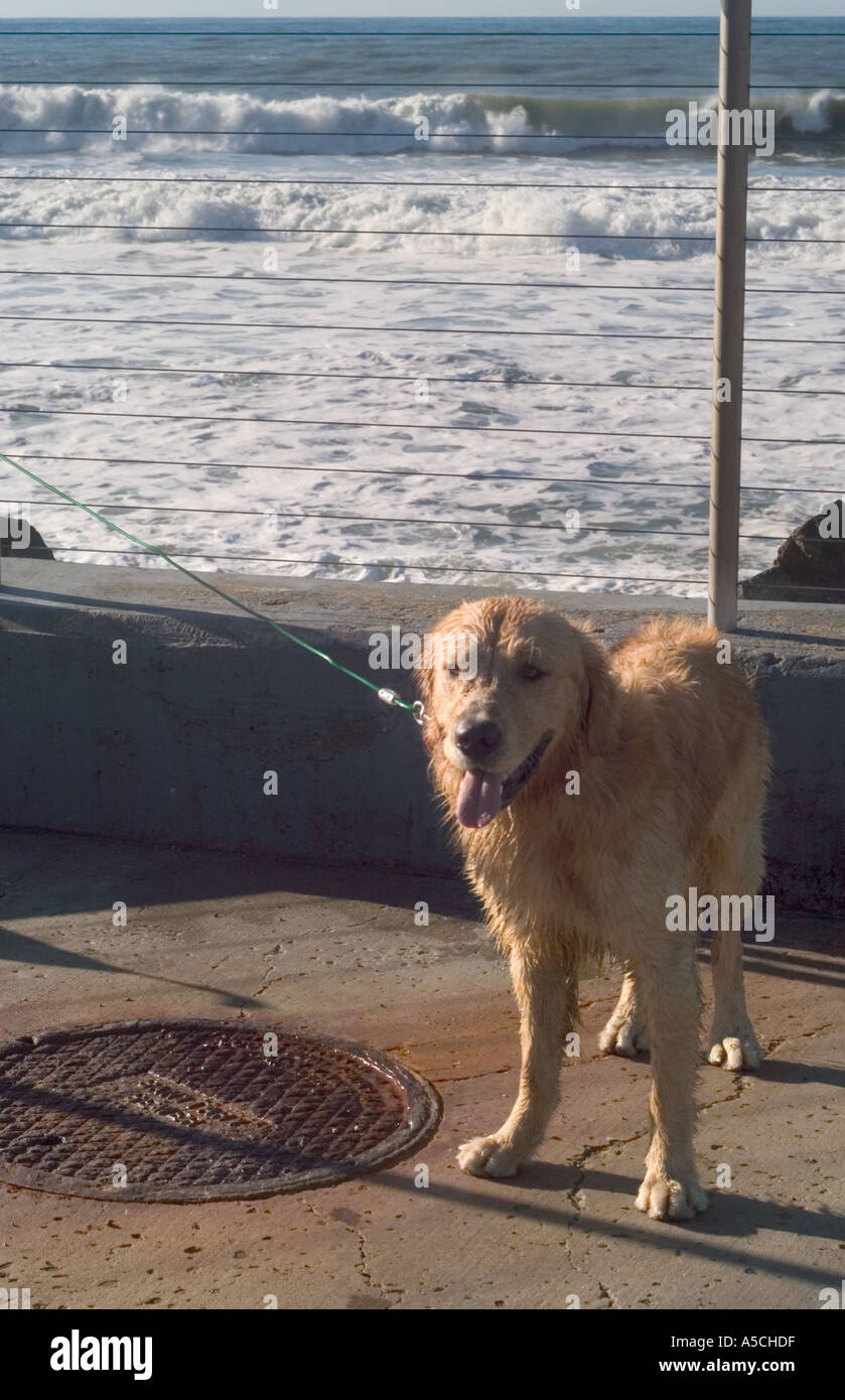 Color vertical image of a soaking wet leashed yellow dog - Stock Image